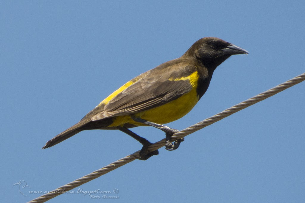 Pecho amarillo grande (Yellow-rumped Marshbird) Pseudoleistes guirahuro