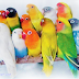 MENGENAL KARAKTER DASAR BURUNG LOVE BIRD