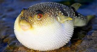 merupakan ikan berbentuk agak bulat yang mampu mengembangkan tubuhnya ketika mendapat gan Ikan Buntal, antara Racun dan Kelezatan