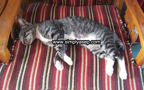 TIDUR : Inilah salah satu gaya Kenon, kucing kesayangan di rumah kami, kalau sudah tidur bisa dimana saja termasuk di atas bangku. Foto Asep Haryono