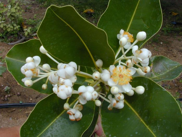 Herbal Plants Of Sri Lanka Domba Calophyllum Inophyllum