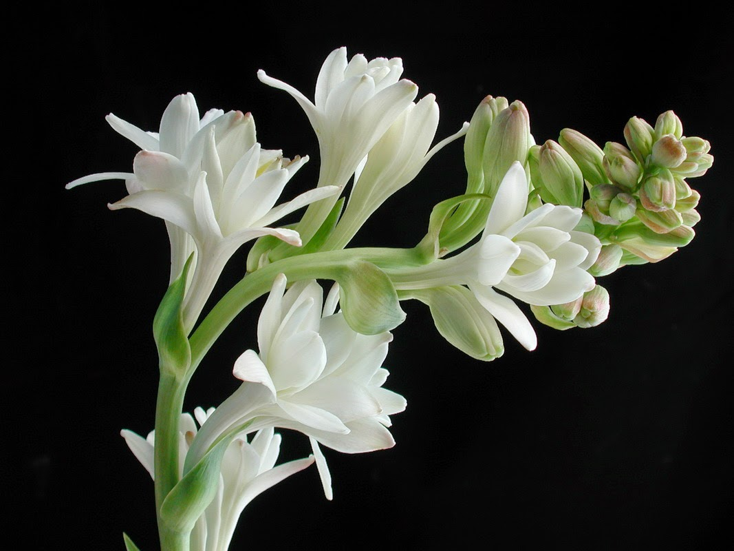 Romantic Flowers: Tuberose Flower
