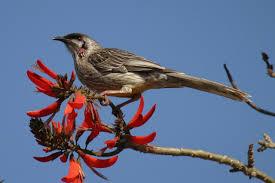Red%2Bwattlebird_BIBY.png