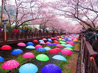 Wisata Romantis Musim Semi Di Jinhae Korea