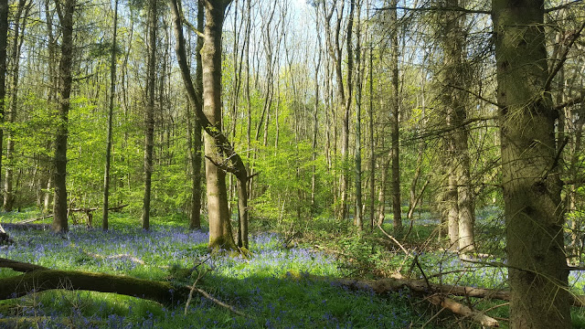 a glade of Bluebells in College Wood, Nr Nash Buckinghamshire