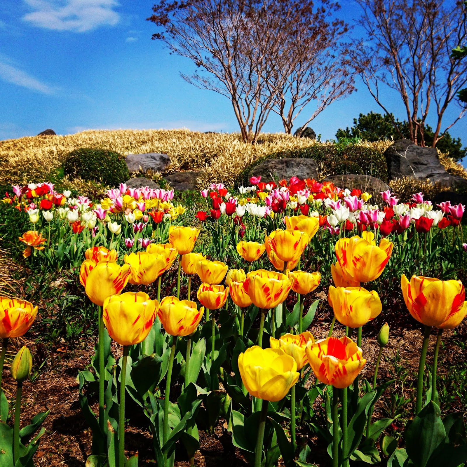Adnilem 39 s journey tulip season for What season are tulips
