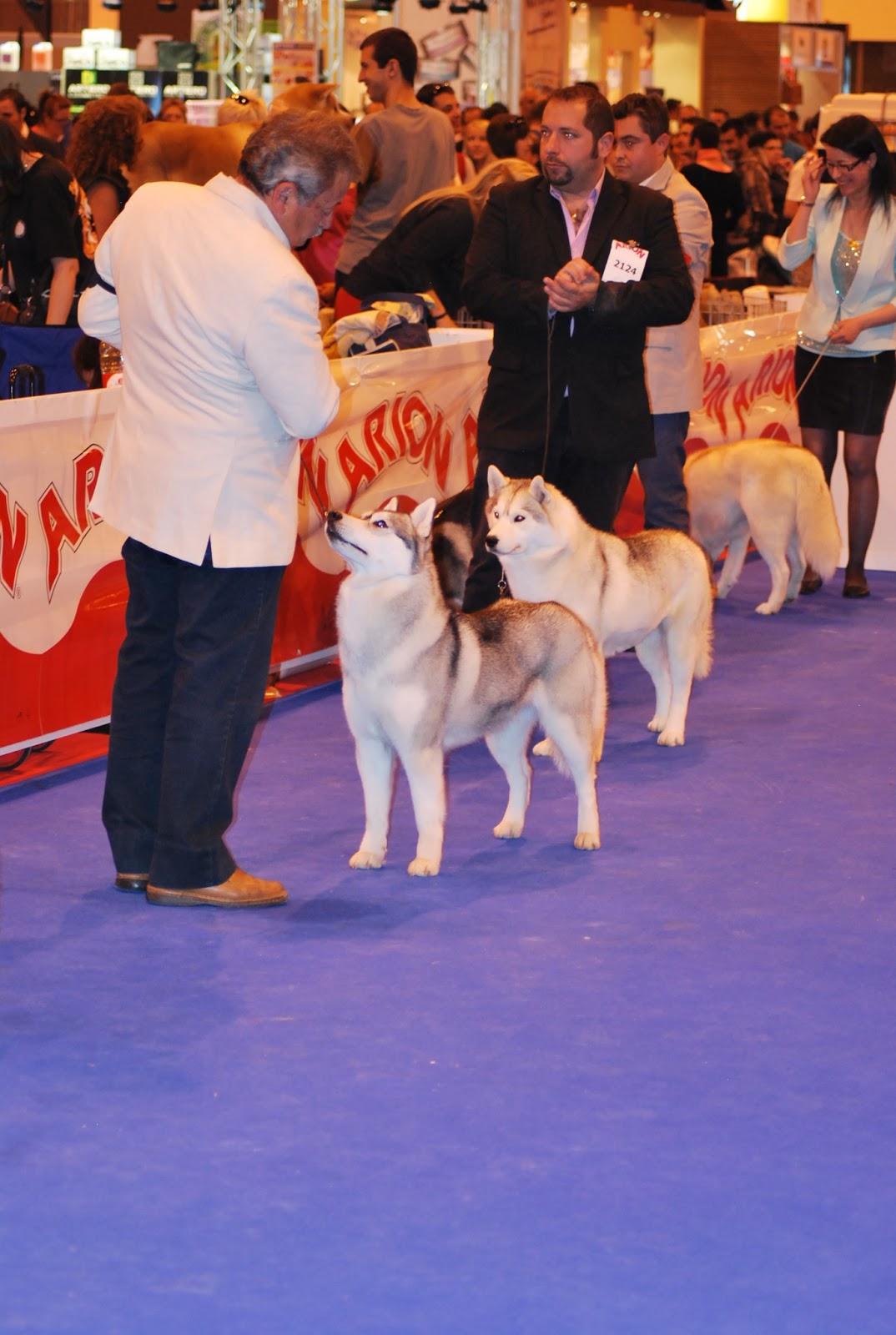 Clase Abierta Hembras Exposicion Canina Madrid 2013 Geysha de Artic Grana