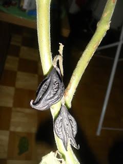 The ripe drupelets
