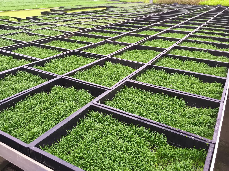Cây cỏ lưỡi rắn trong trại thủy sinh Dennerle