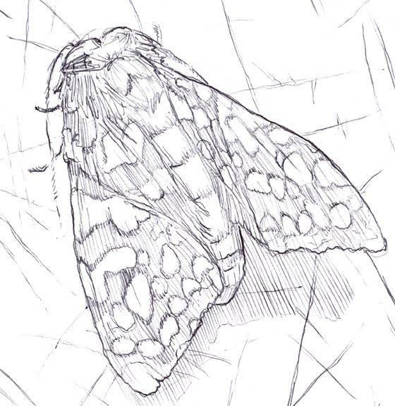 Drawings Of Moths