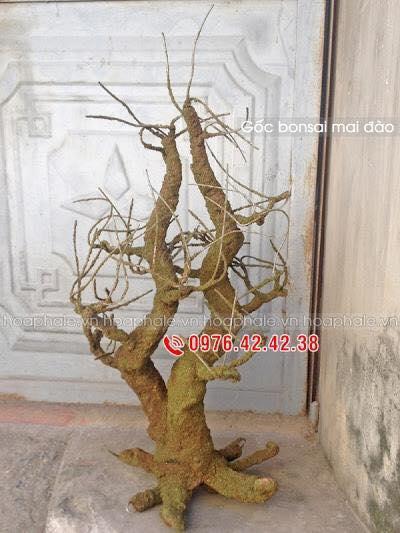 Goc bonsai mai dao tai Thach Ban