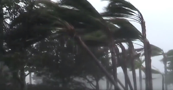Coconut Trees standing against the powerful winds of a hurricane.