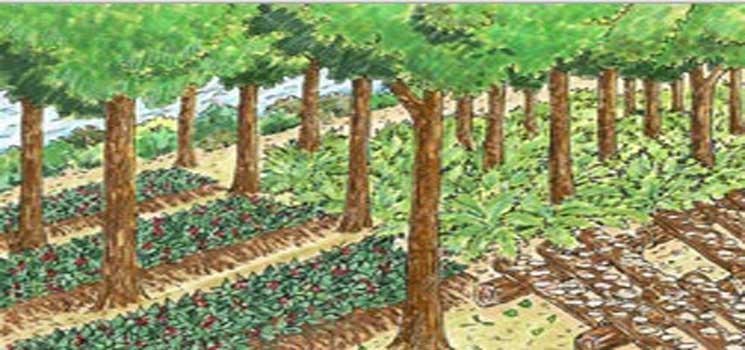 Pola Pengembangan Sistem Agroforestri