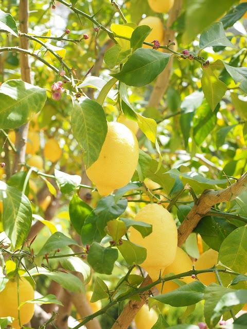 在西方,當檸檬還長在樹上、尚未採收前的顏色就已經是黃色的了。