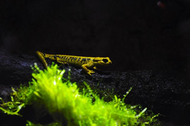 salamandra amarilla con manchas negras