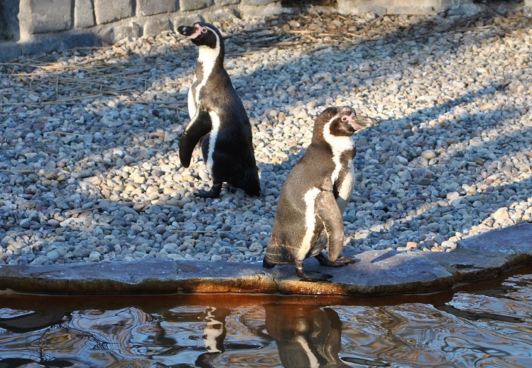 Pinguine im Luisenpark in Mannheim
