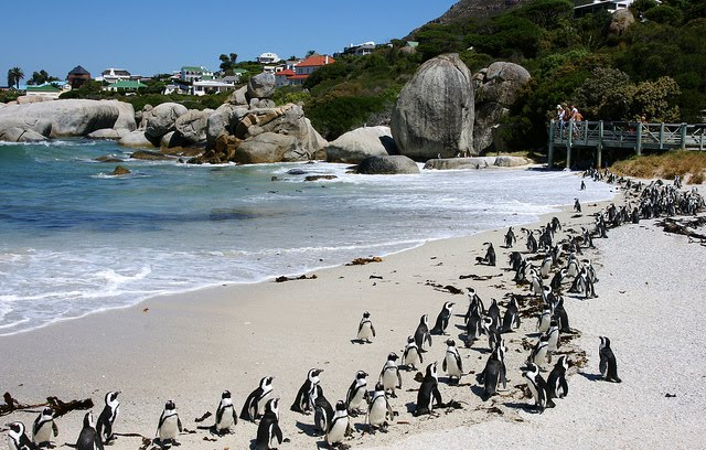 These penguins in Australia lures tourists annually in due to its rare sight