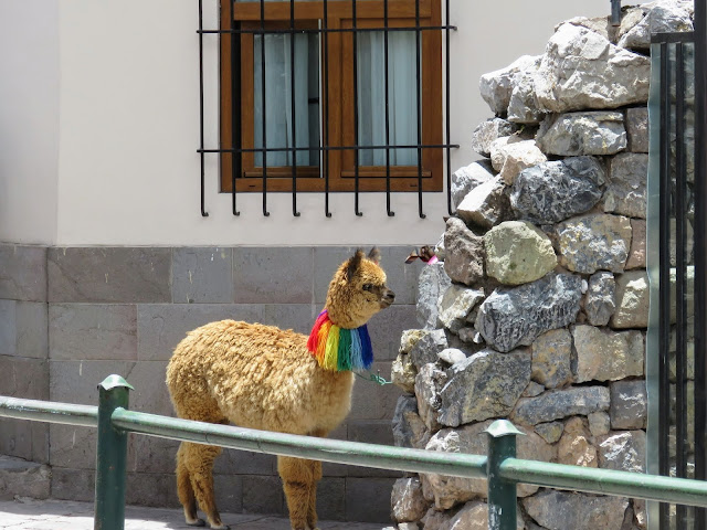 What to do in Cusco for 3 days: Alpaca with a rainbow necklace in Cusco Peru