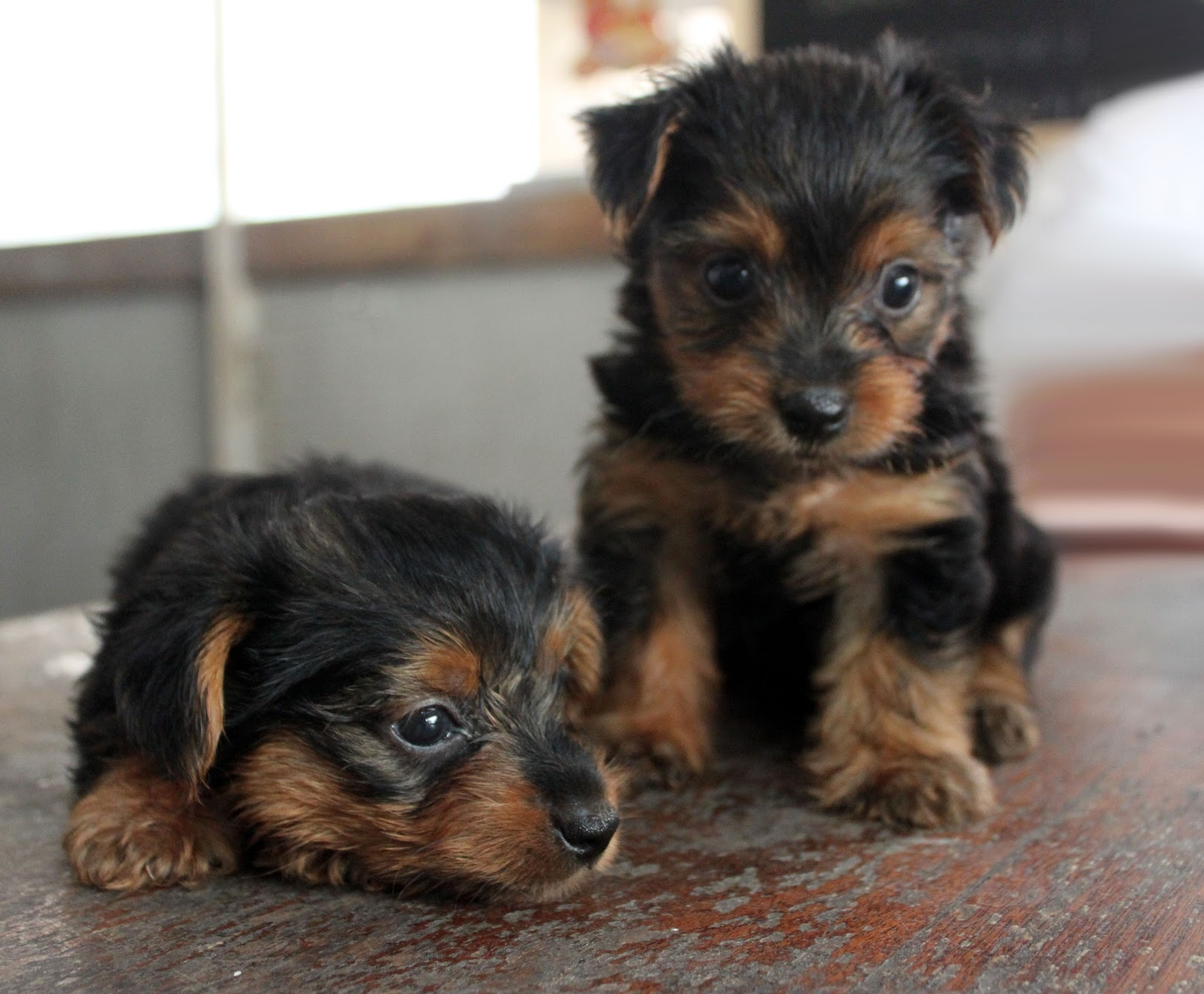 Preciouspups Featured Doggy Yorkshire Terriers