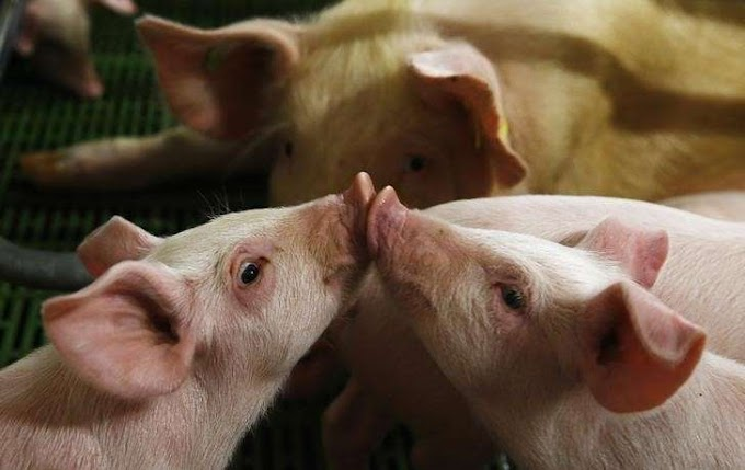 African Swine Fever outbreak reported in South Africa