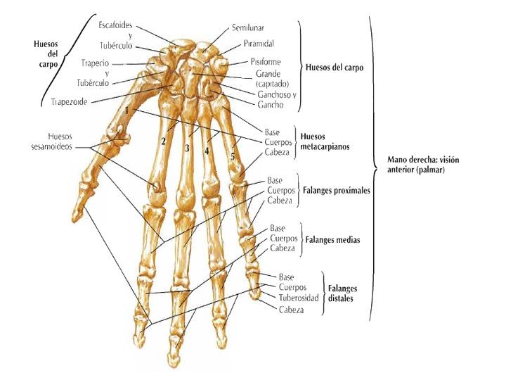 FCM-UNAH Anatomía Macroscópica: agosto 2013