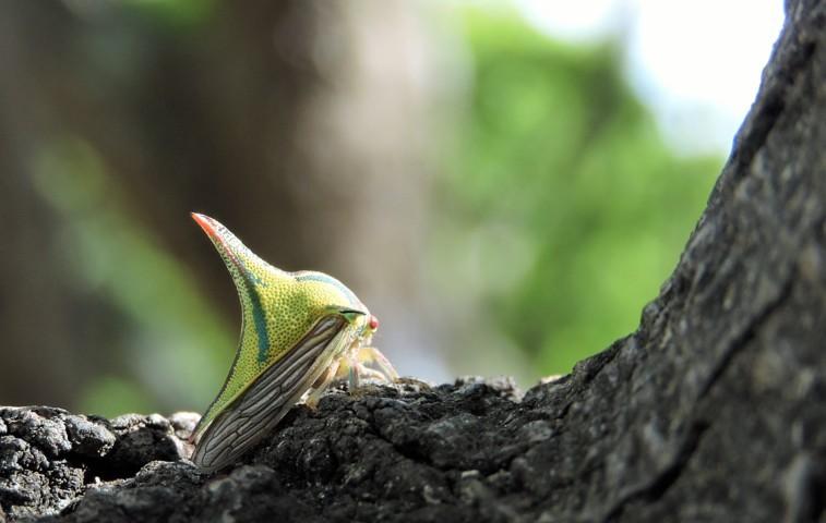 Membracidae-hemípteros los insectos helicópteros