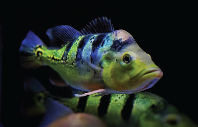 Temperamen Peacock Bass Monoculus
