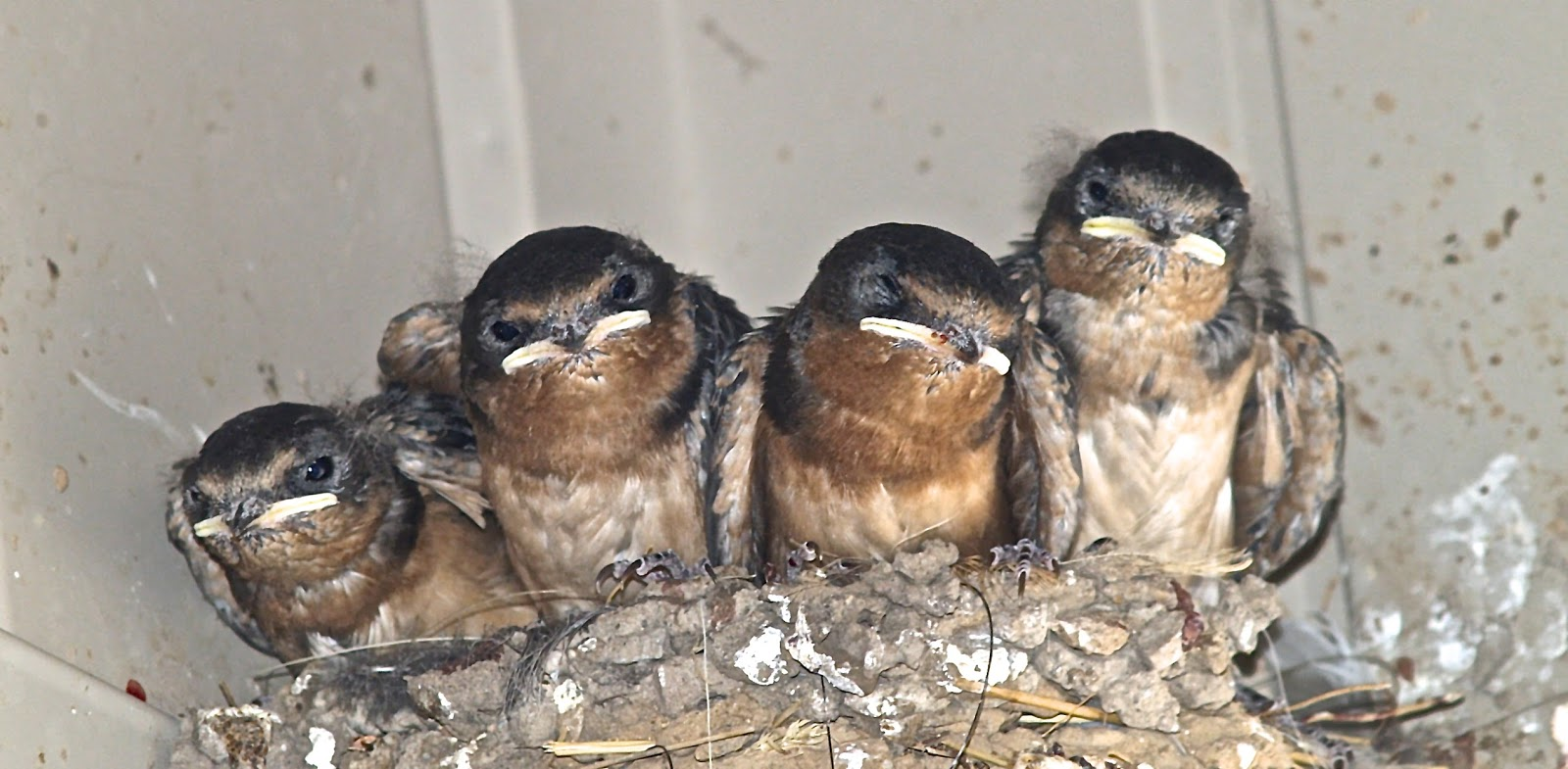 what to feed baby barn swallow birds