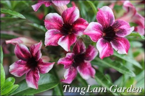 hoa Sứ, hoa Sứ Thái, hoa Sứ Thái lan, Hoa sứ đại, hoa Đại, cây đại, cây sứ cùi, hoa sứ cùi, hoa sứ giống mới