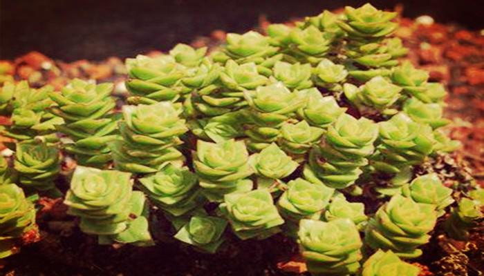 Crassula planta de jardin