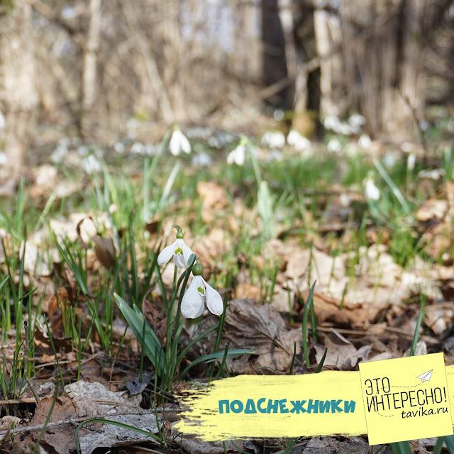поляна подснежников в Крыму
