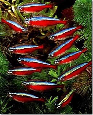 Cá Neon Đỏ (cá neon vua) cho hồ thủy sinh