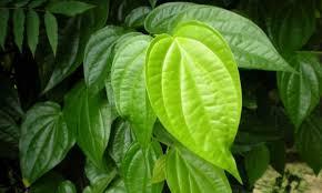 Khasiat dan manfaat daun sirih
