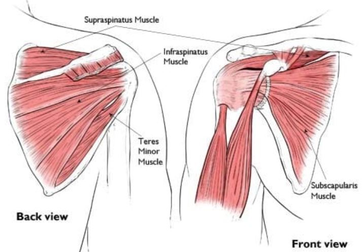 What are Shoulder Rotator cuff muscles? Why they might be the source ...