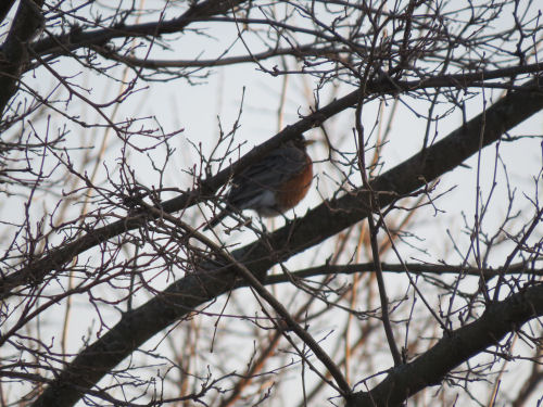 robin in a mulberry tree