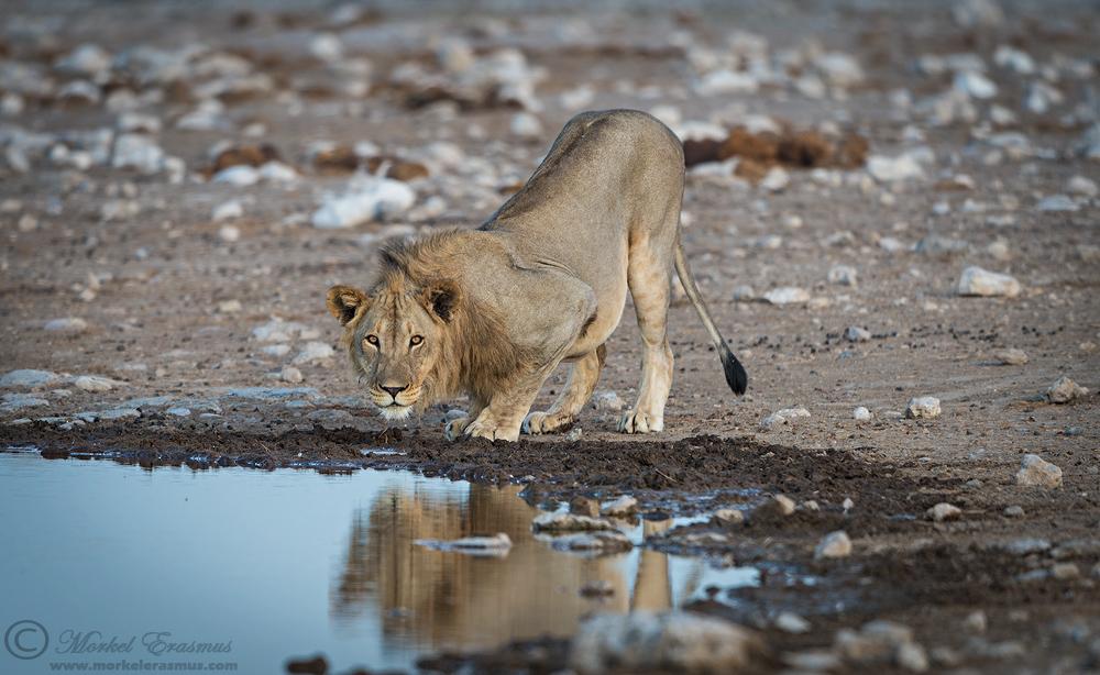 Lions vs Giraffe: The Prelude
