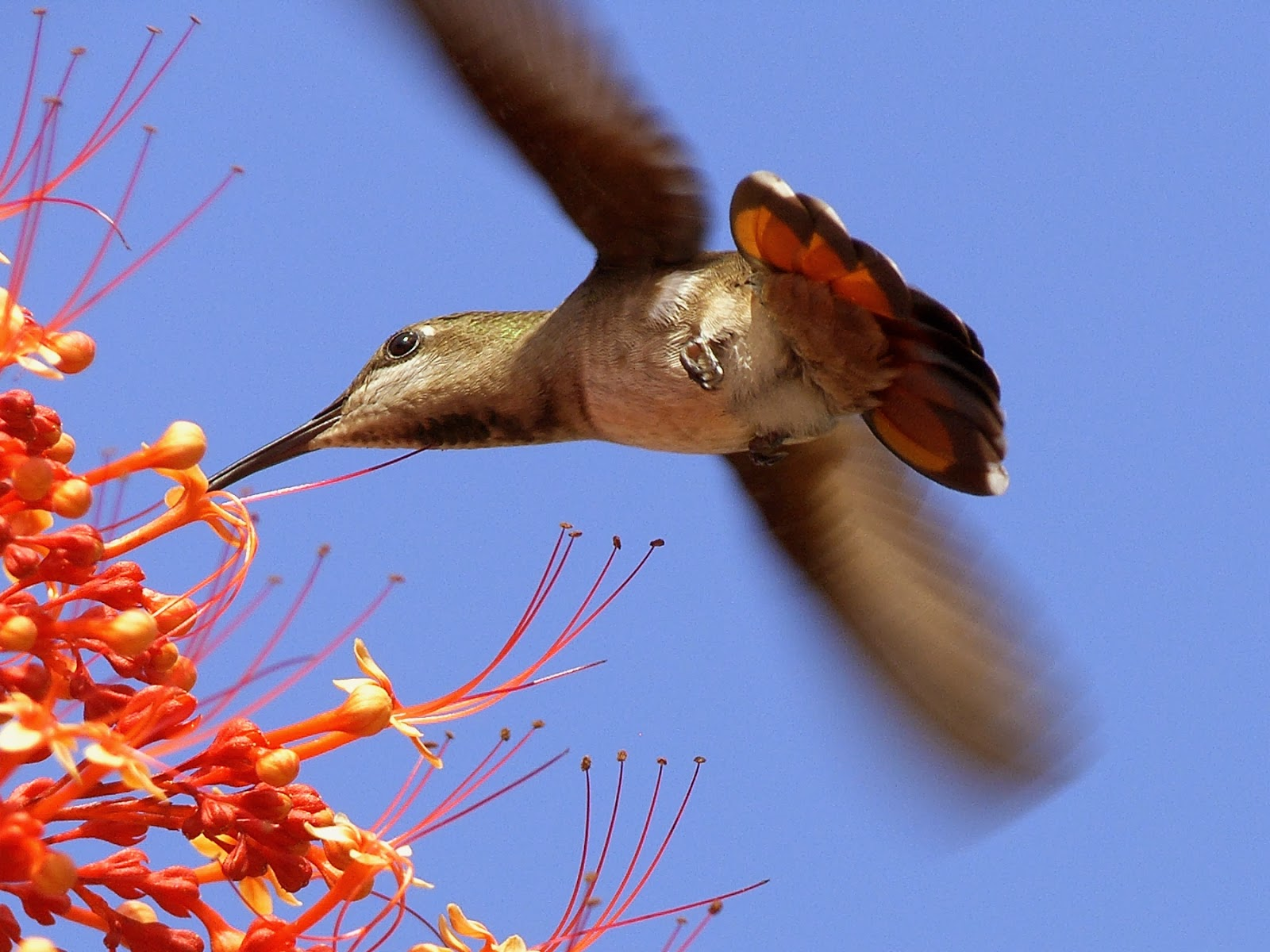 Black-throated Mango Hummingbird (Anthracothoras nigricollis)