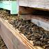Κλαίνε οι μελισσοκόμοι στην Ελλάδα: Έρχεται το τέλος...