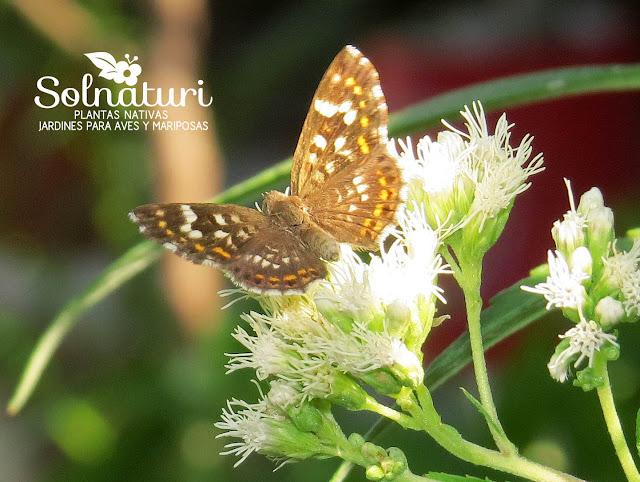 Aricoris signata  Hormiguera común Mariposa