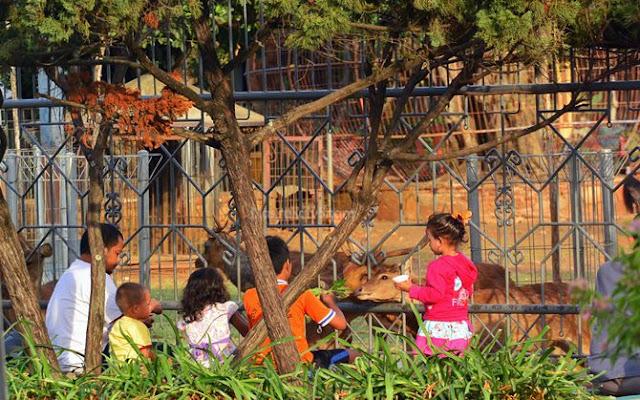 Anak-anak kecil didampingi orangtuanya memberi makan rusa di Pendopo Jepara