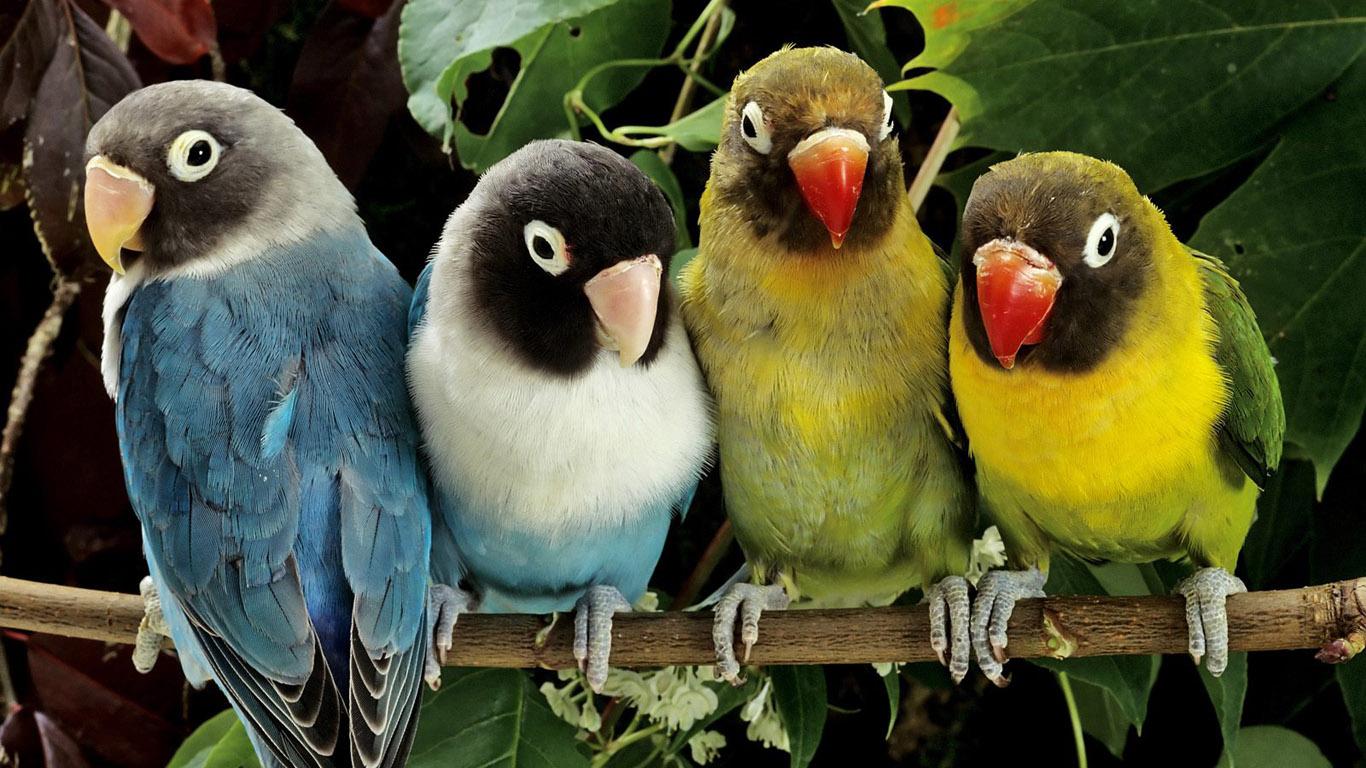 Wallpapers Love Birds: Wallpaper Collection: Parrot Wallpaper