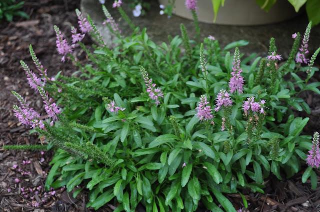 spirea, steins, planting, gardening, diy, landscaping, fieldstone, stone, field, free, grasses, burning bushes
