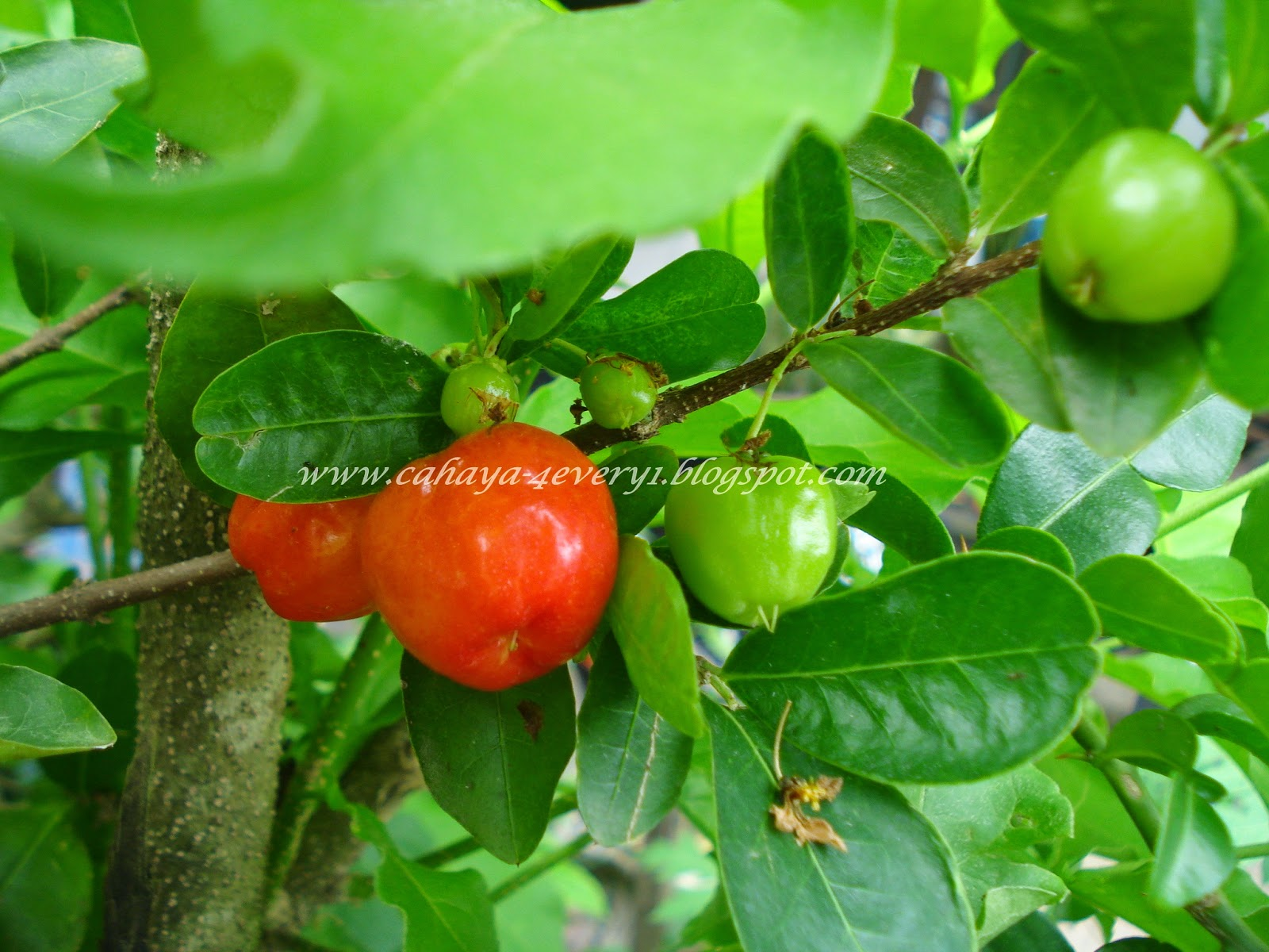 growing cherry in hot climate