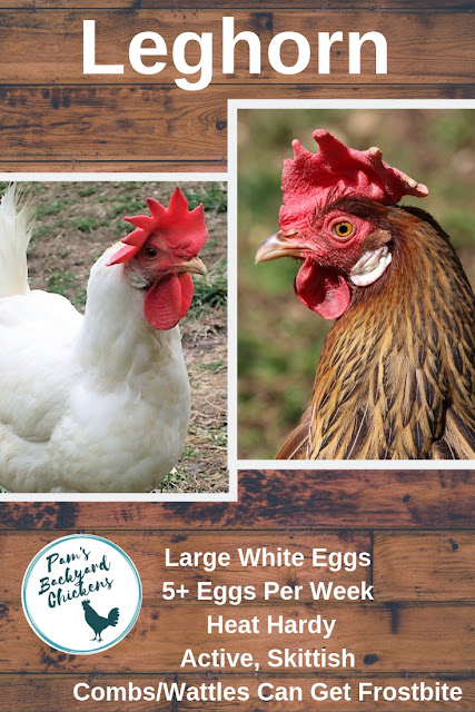 Leghorns are famous among backyard chicken owners for being a reliable and prolific white egg laying chicken breed.