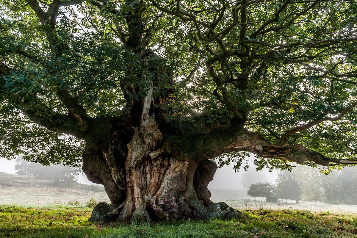 Foto de roble (Quercus)