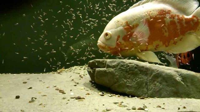 Budidaya Ikan Oscar