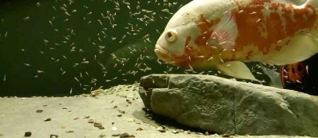 Budidaya Ikan Oscar di Akuarium Pengalaman Wirausaha