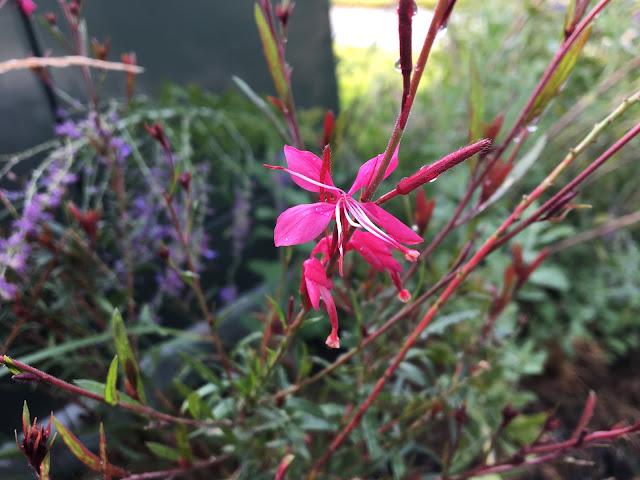 Gaura lindheimeri BELLEZA™ Dark Pink