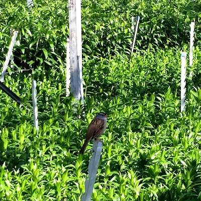 sparrow on lilies