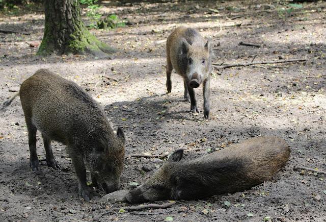 Wildschein Tierpark Kunsterspring